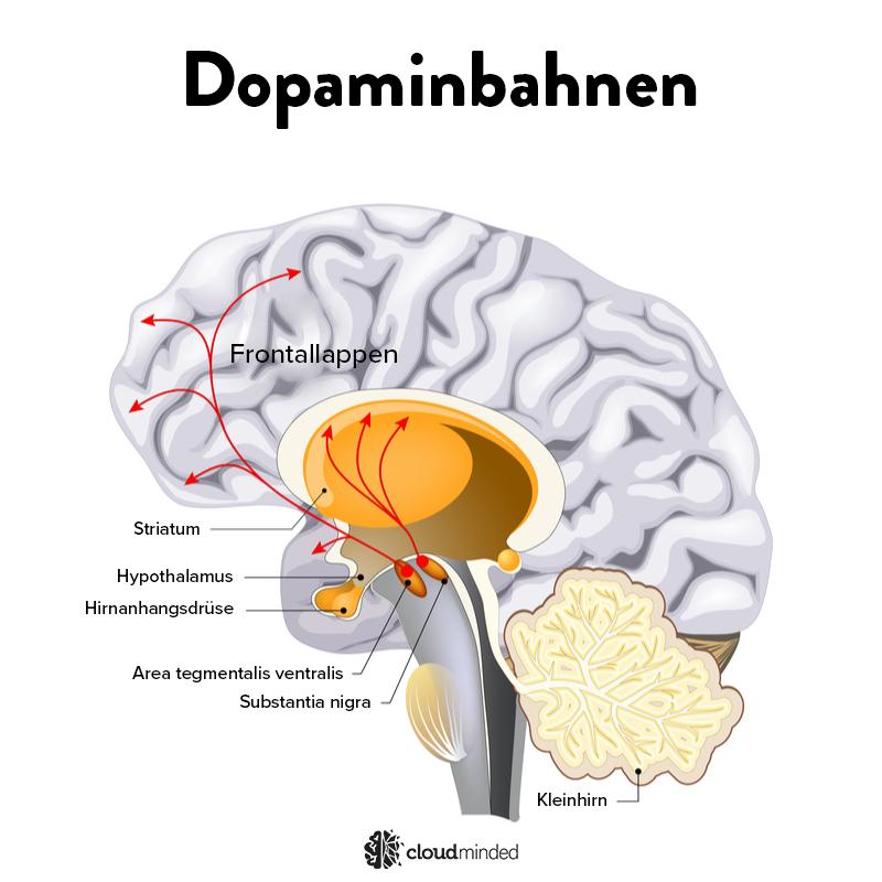 dopamin pfad belohnungszentrum